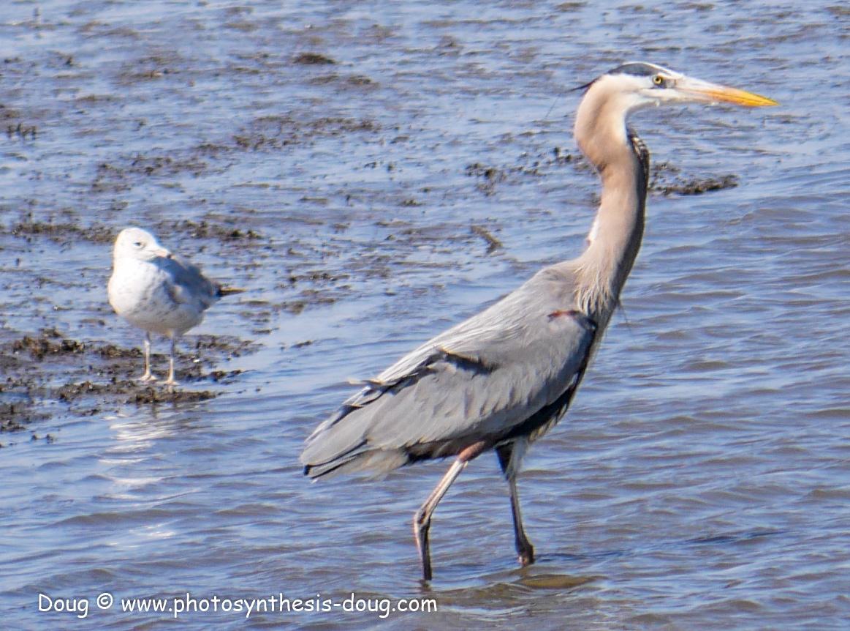 Bombay Hook birds-1030102.JPG