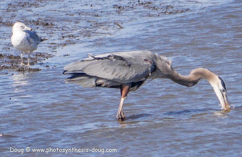 Bombay Hook birds-1030104.JPG