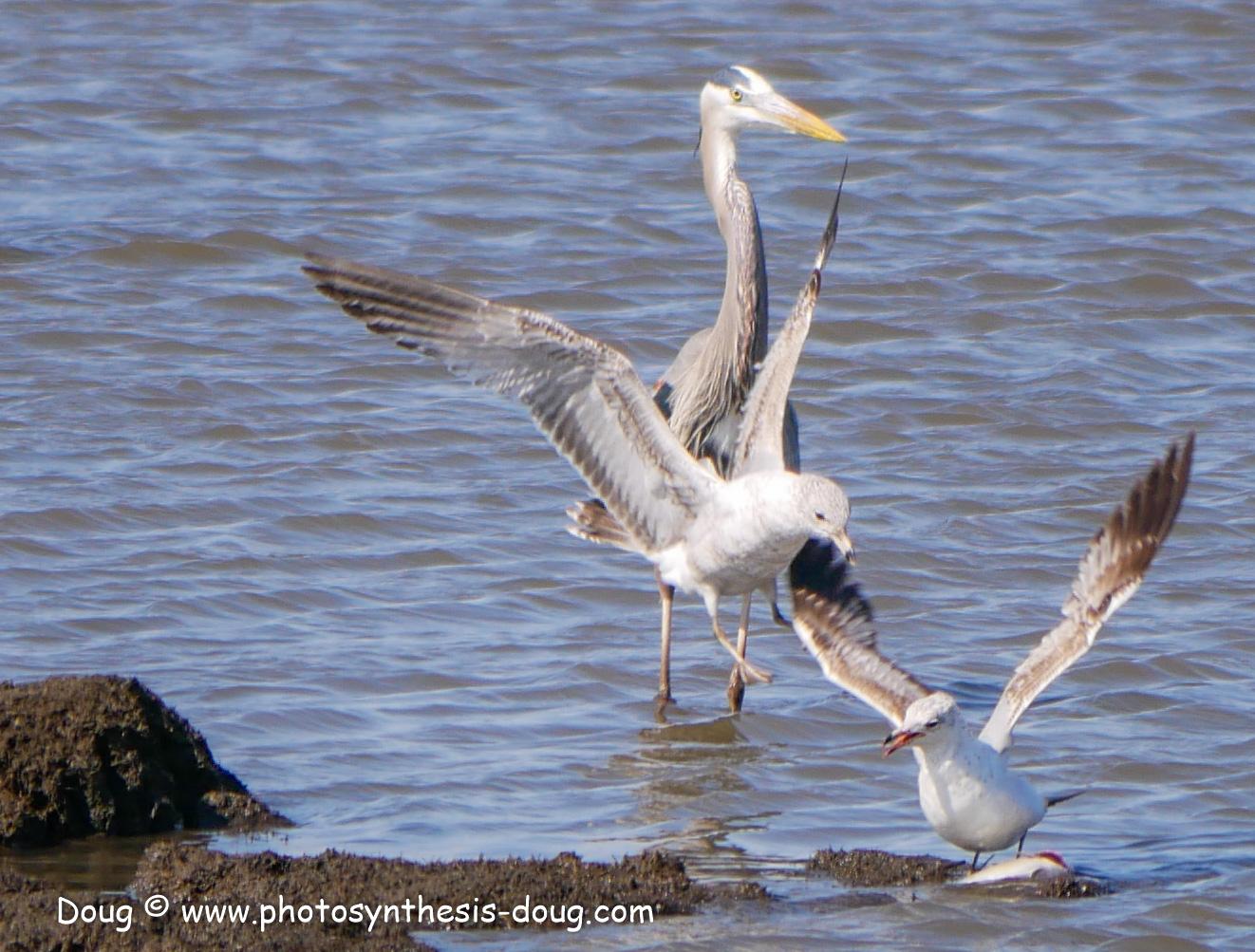 Bombay Hook birds-1030152.JPG