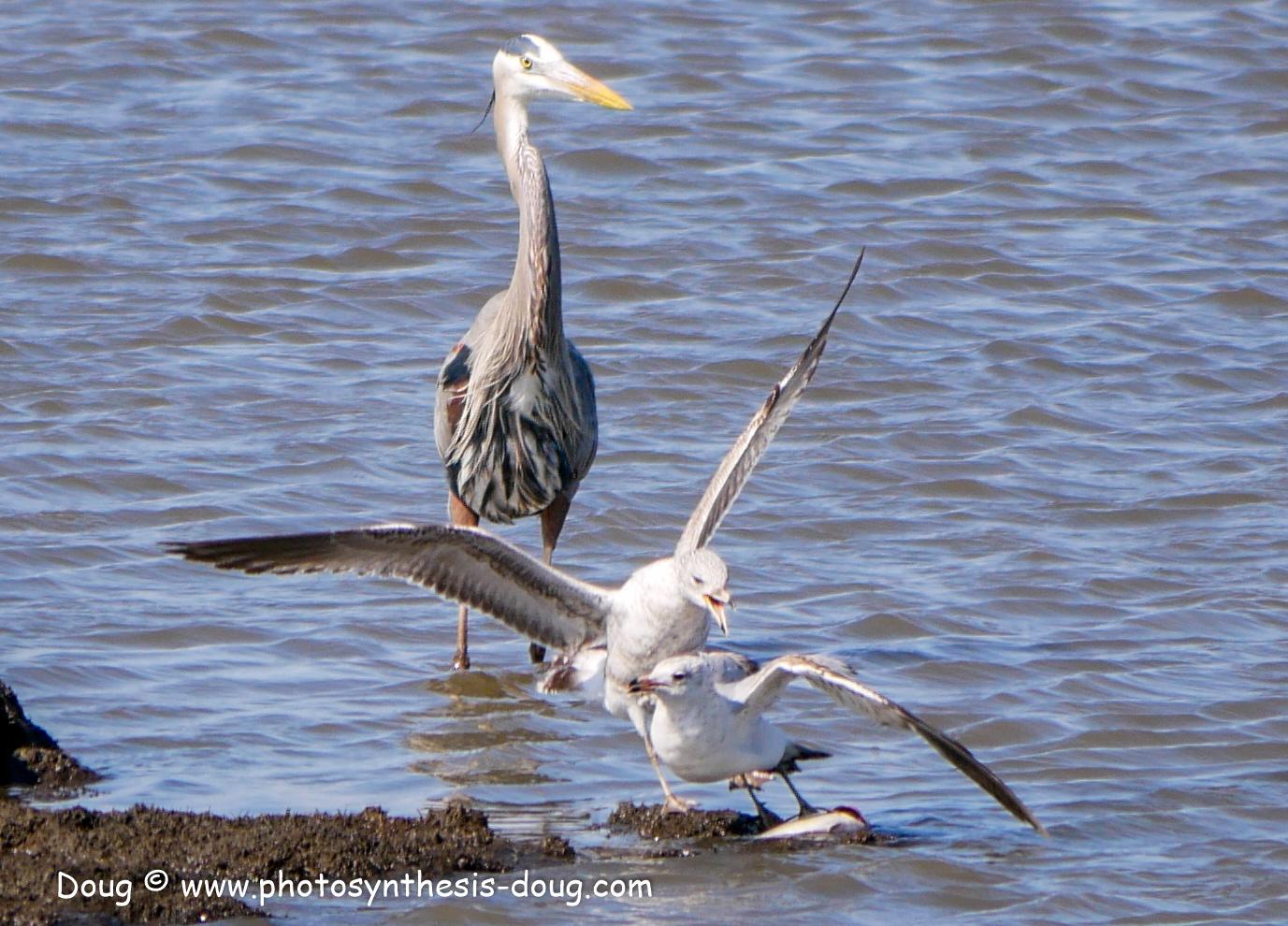 Bombay Hook birds-1030153.JPG