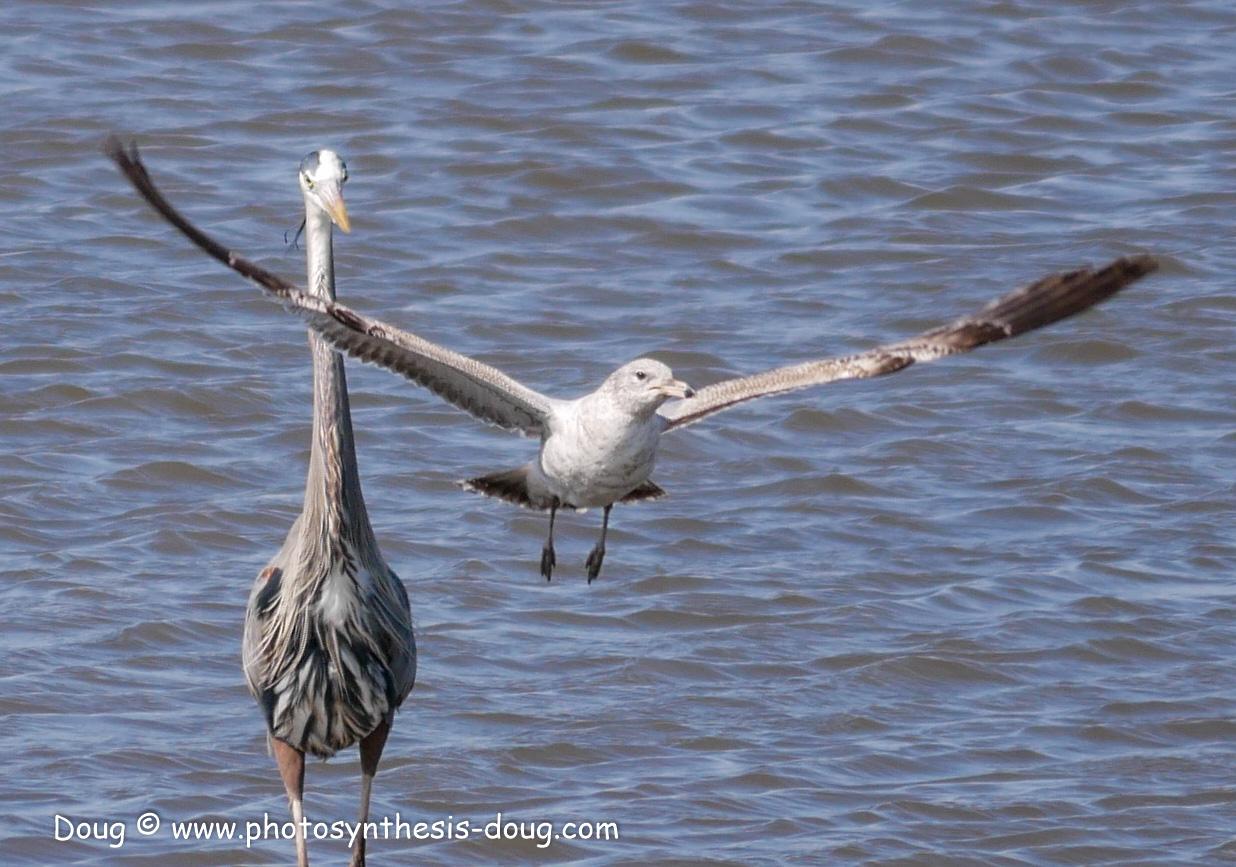 Bombay Hook birds-1030156.JPG