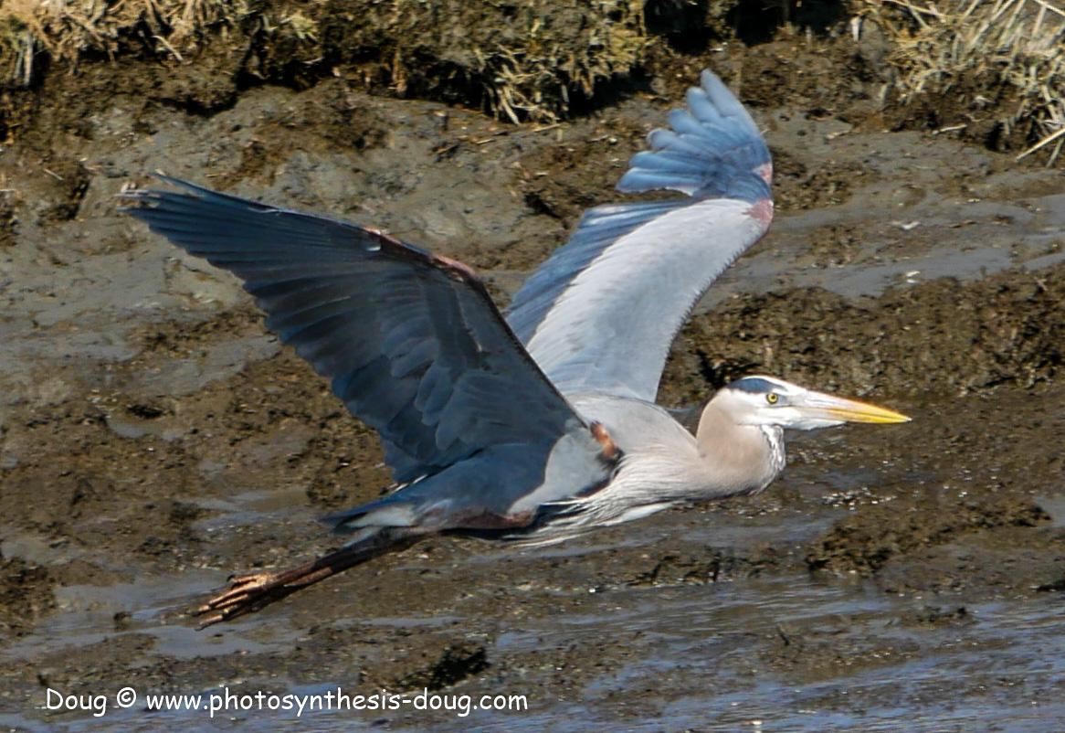 Bombay Hook birds-1030202.JPG