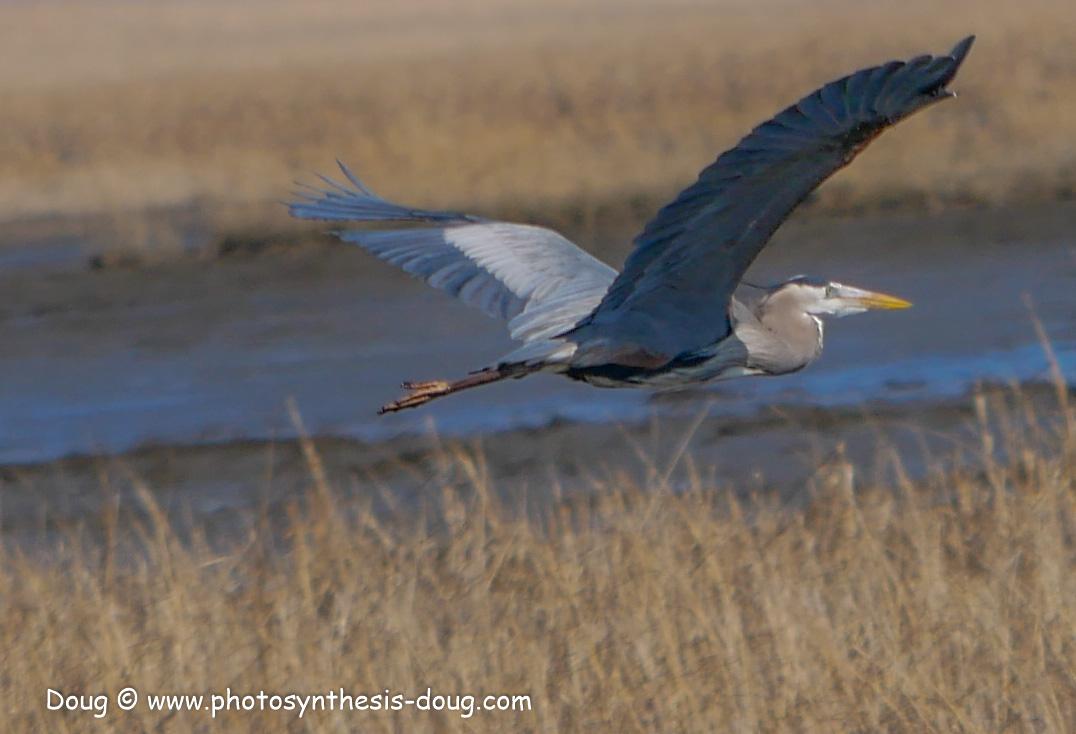 Bombay Hook birds-1030215.JPG