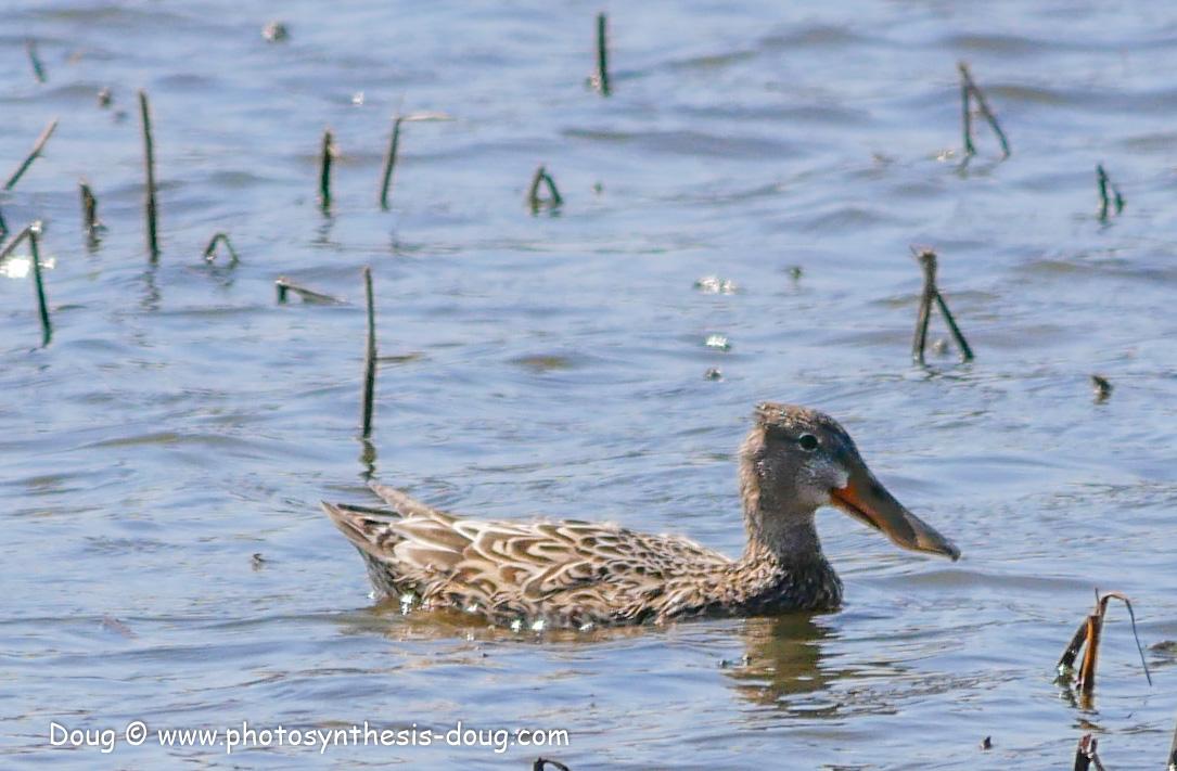 Bombay Hook birds-1030047.JPG