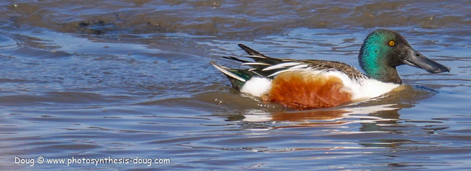 Bombay Hook birds-1030281.JPG
