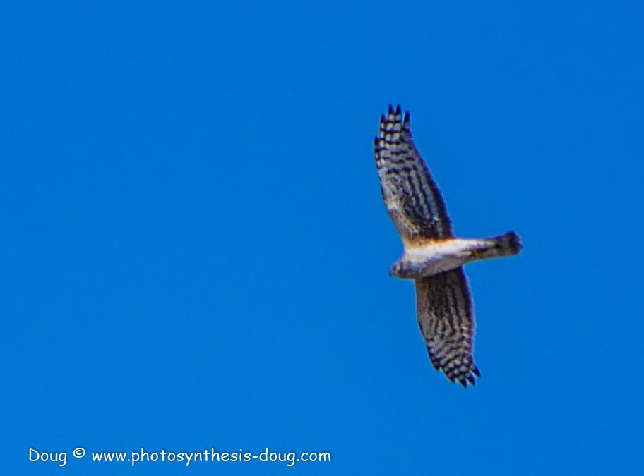 Bombay Hook birds-1030033.JPG