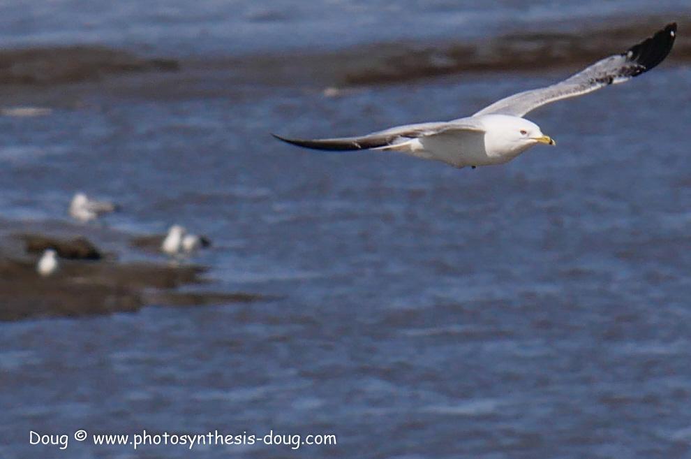 Bombay Hook birds-1030110.JPG