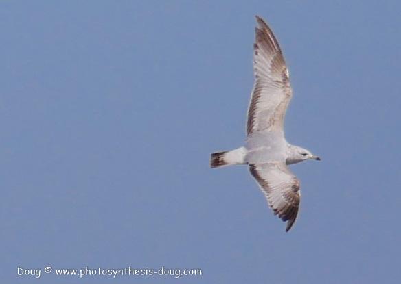 Bombay Hook birds-1030127.JPG