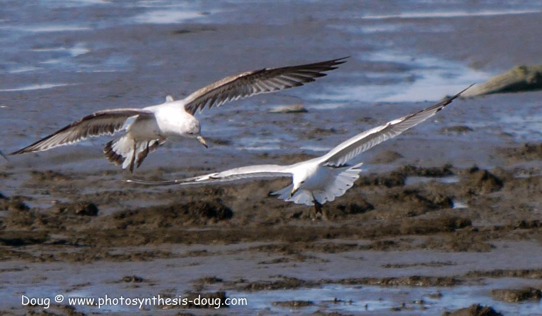Bombay Hook birds-1030149.JPG