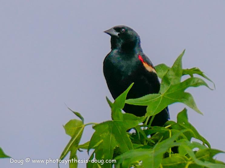 redwing black bird-1050764.JPG