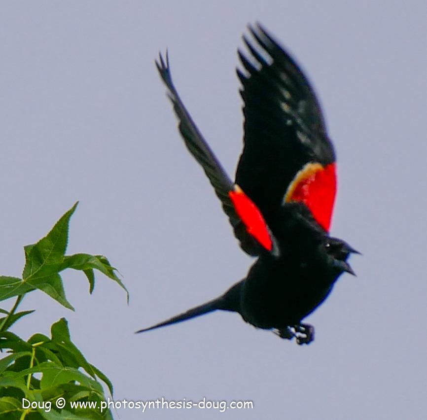 redwing black bird-1050765.JPG