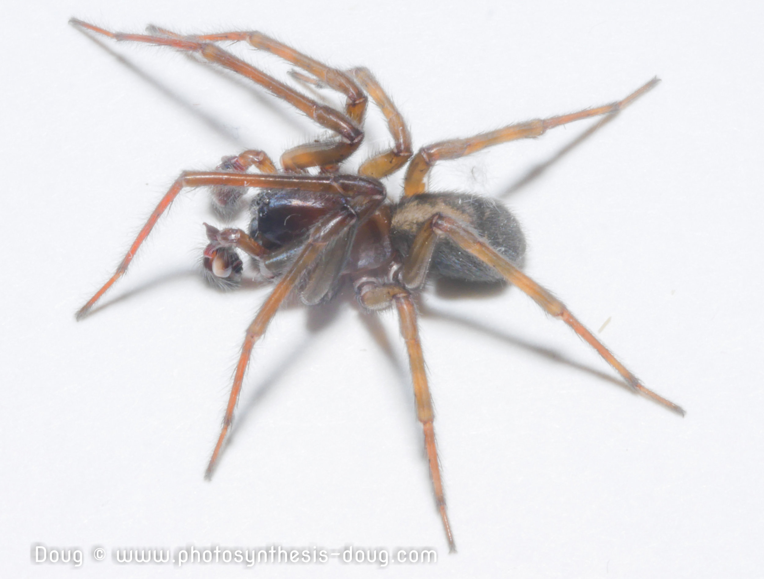 Common house spider photo by Doug Coulson