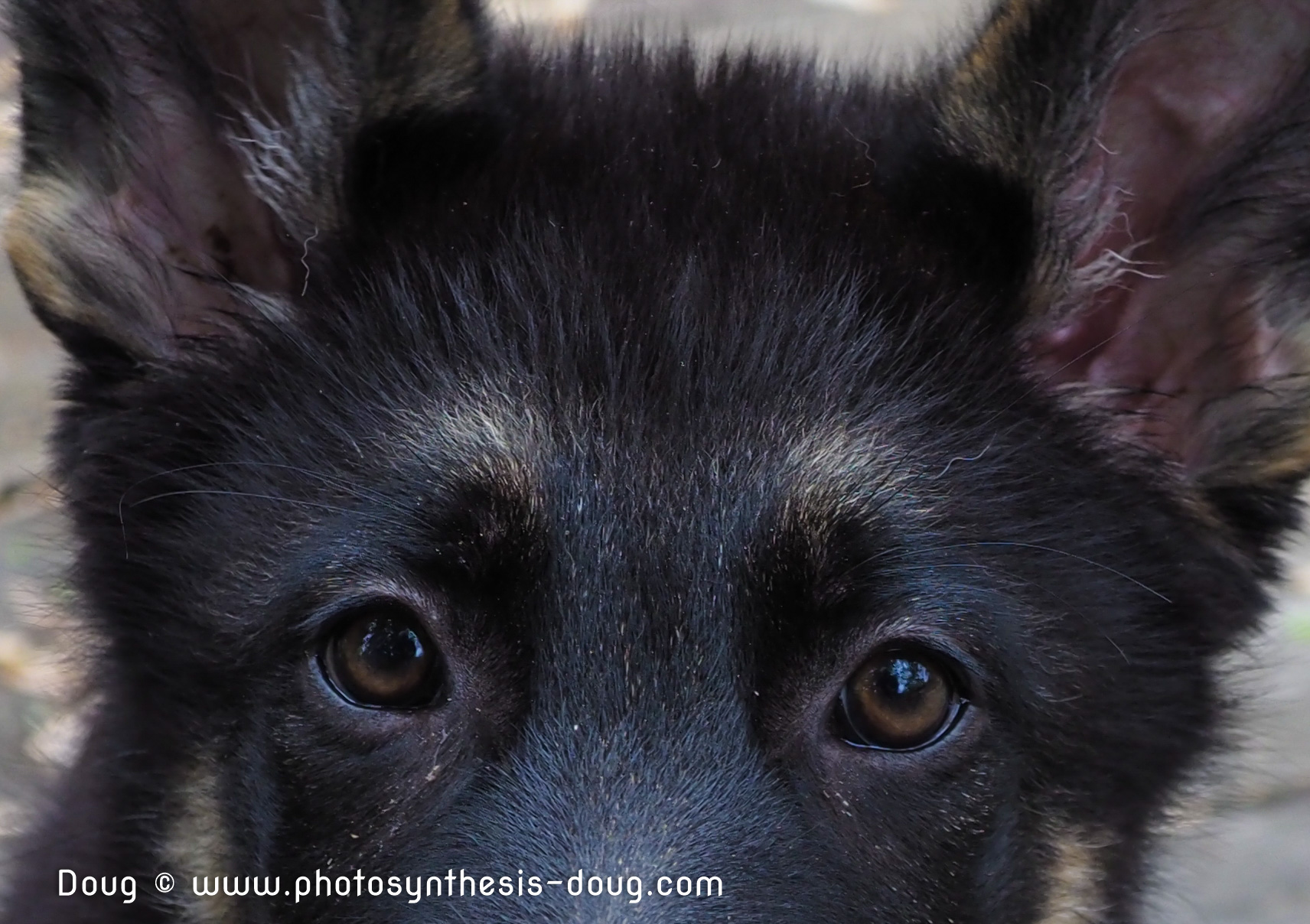 Eagle at 4 months, training to be a service dog to the blind. Photo by Doug Coulson
