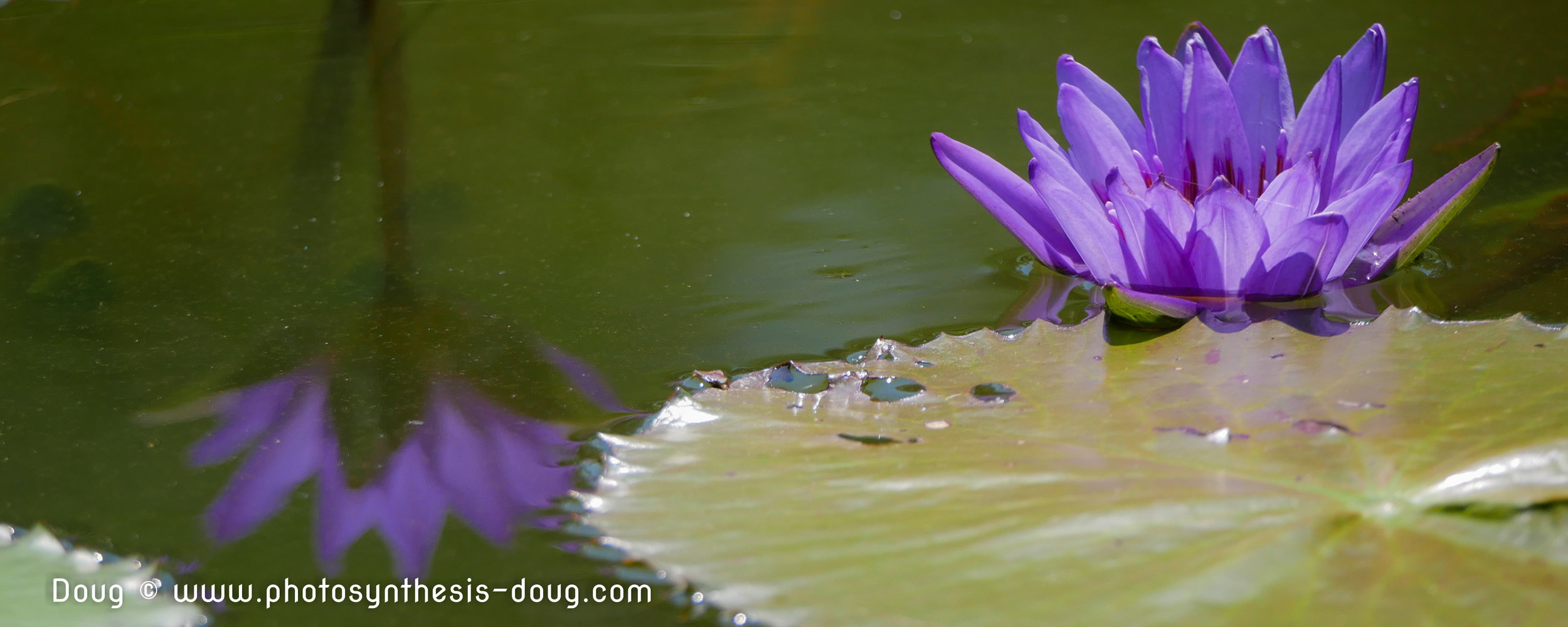 water lily-1150698-2.JPG