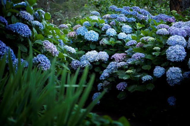 Hydrangea shots Freedom 2011 006.jpg