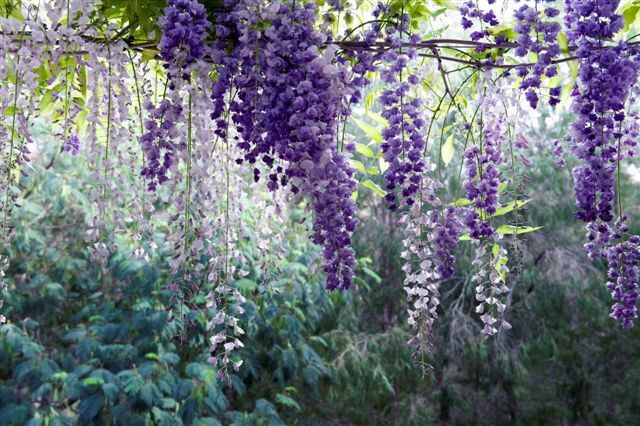 Freedom photos Wisteria 2010 001.jpg