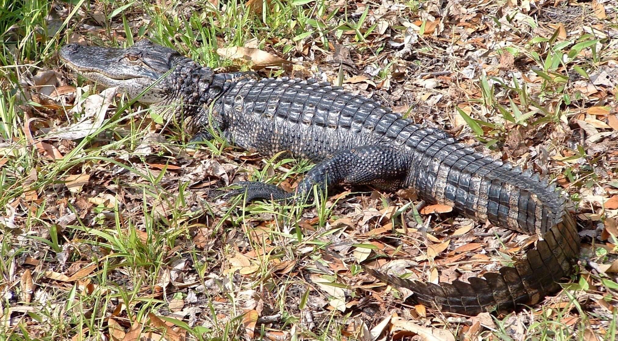 Alligator on Leaves.jpg
