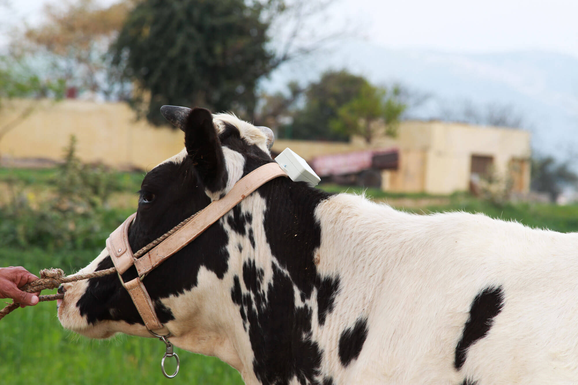Cowlar 's Smart Wearable cow collar helps increase dairy output by approximately 15 percent