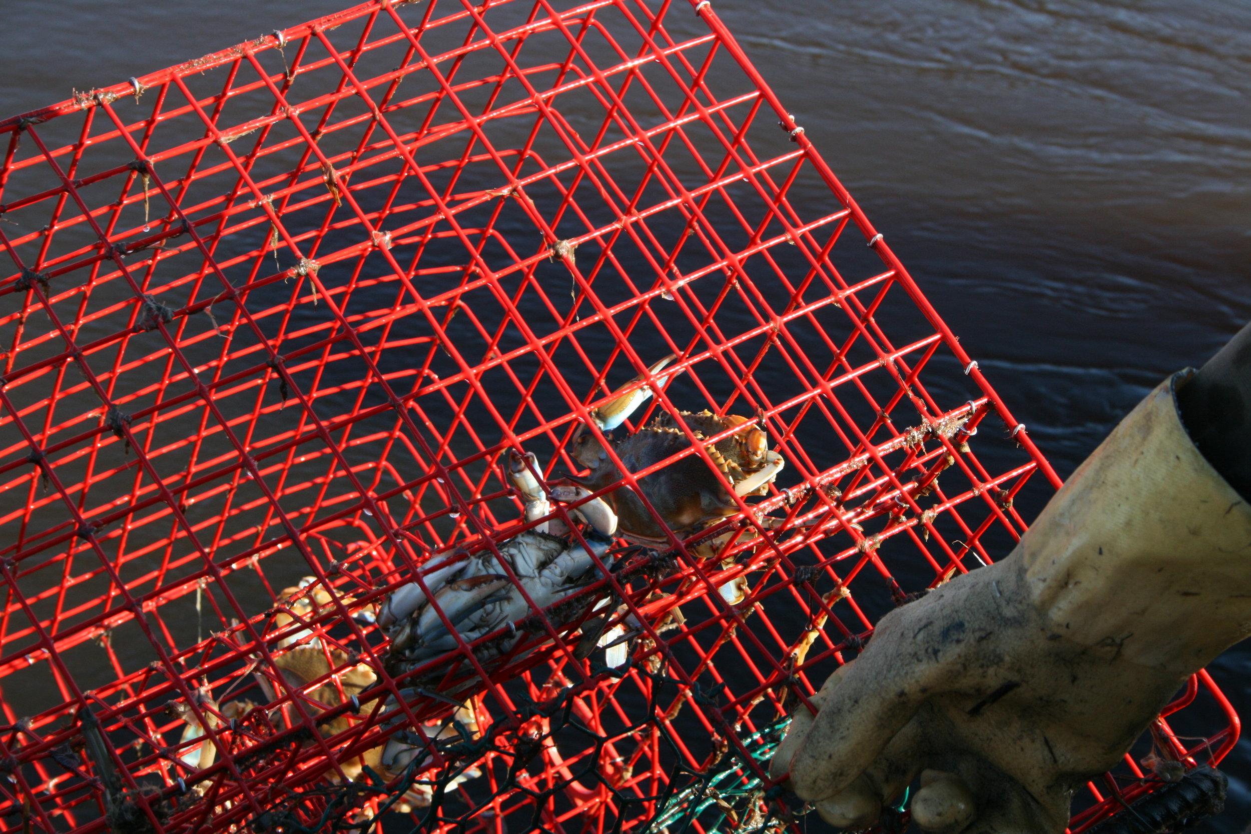 House_hauls_in_crab_trap..JPG