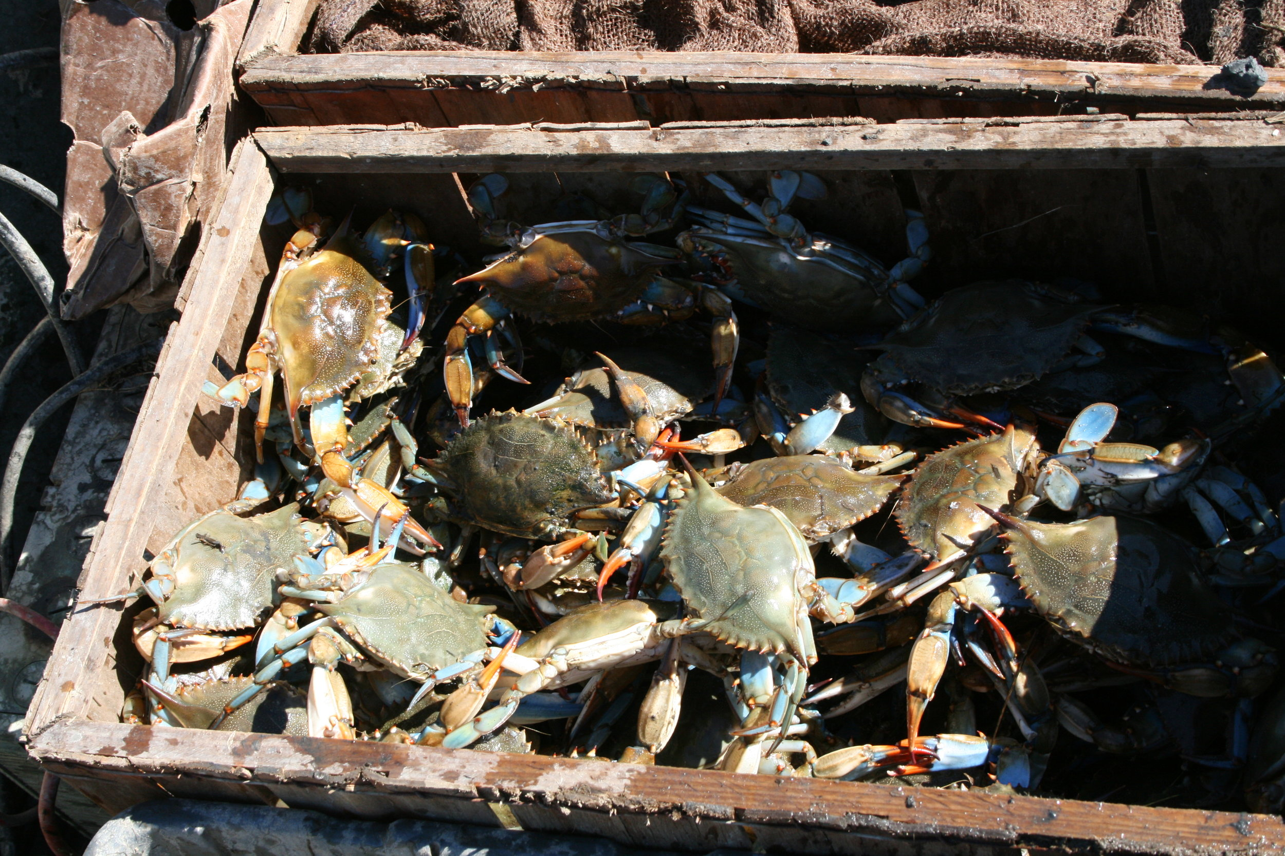 Box_full_of_blue_crabs_is_ready_to_cover..JPG