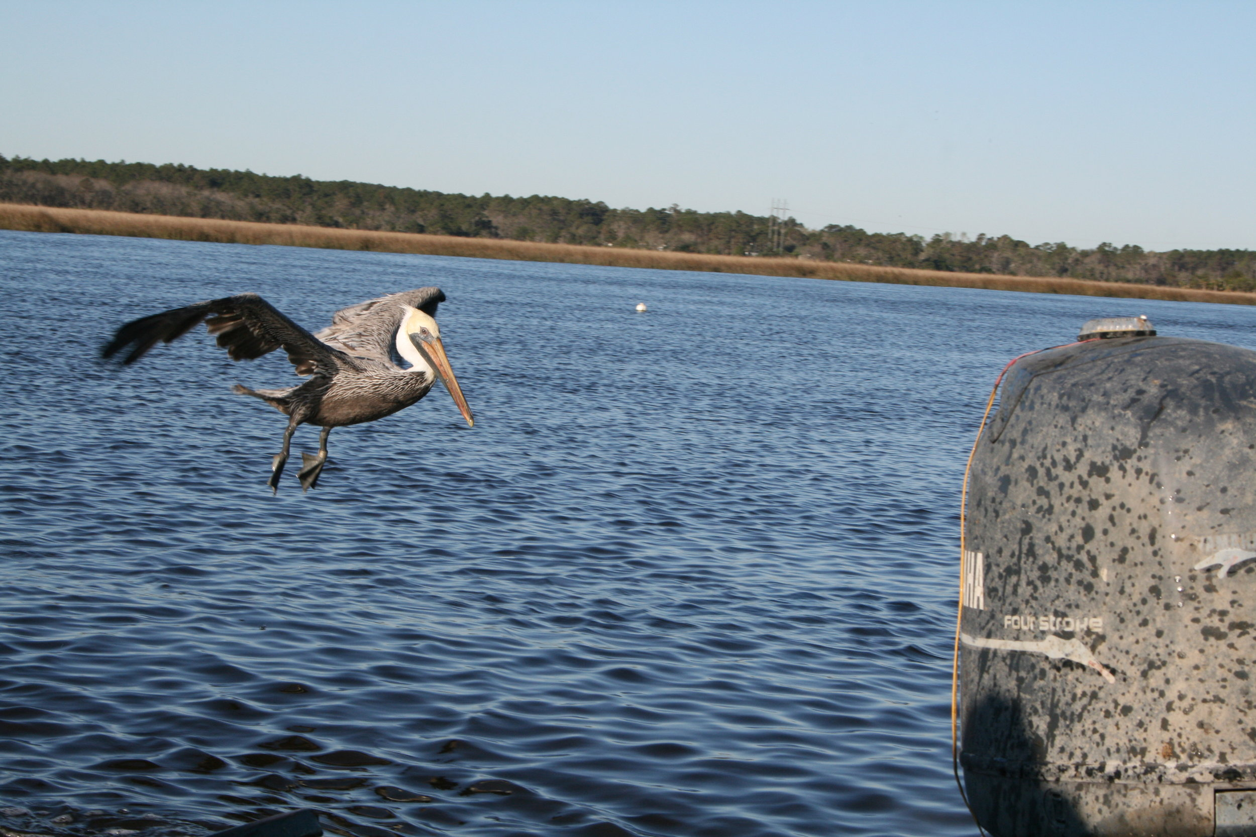 Pelican_swoops_in_hoping_to_capture_a_bite_of_crab_bait..JPG