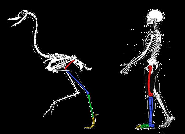 hind_limb_comparative_anatomy.png