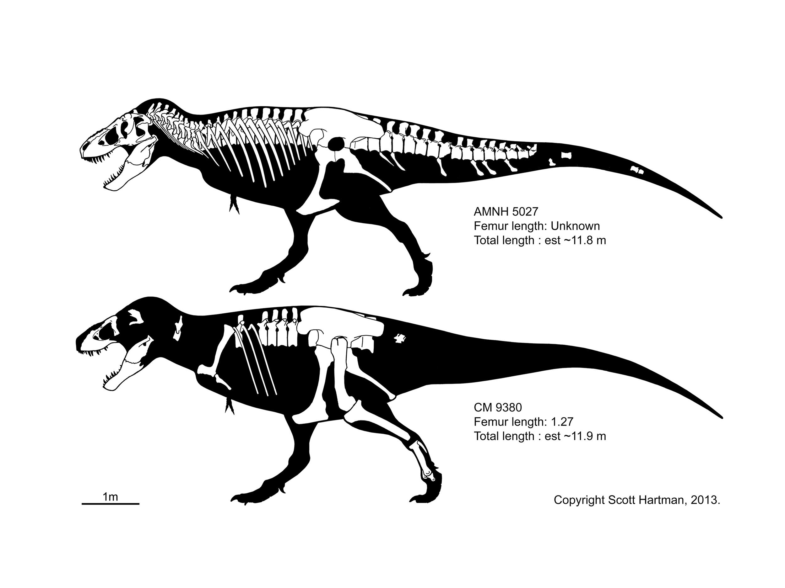 T. rex comparison