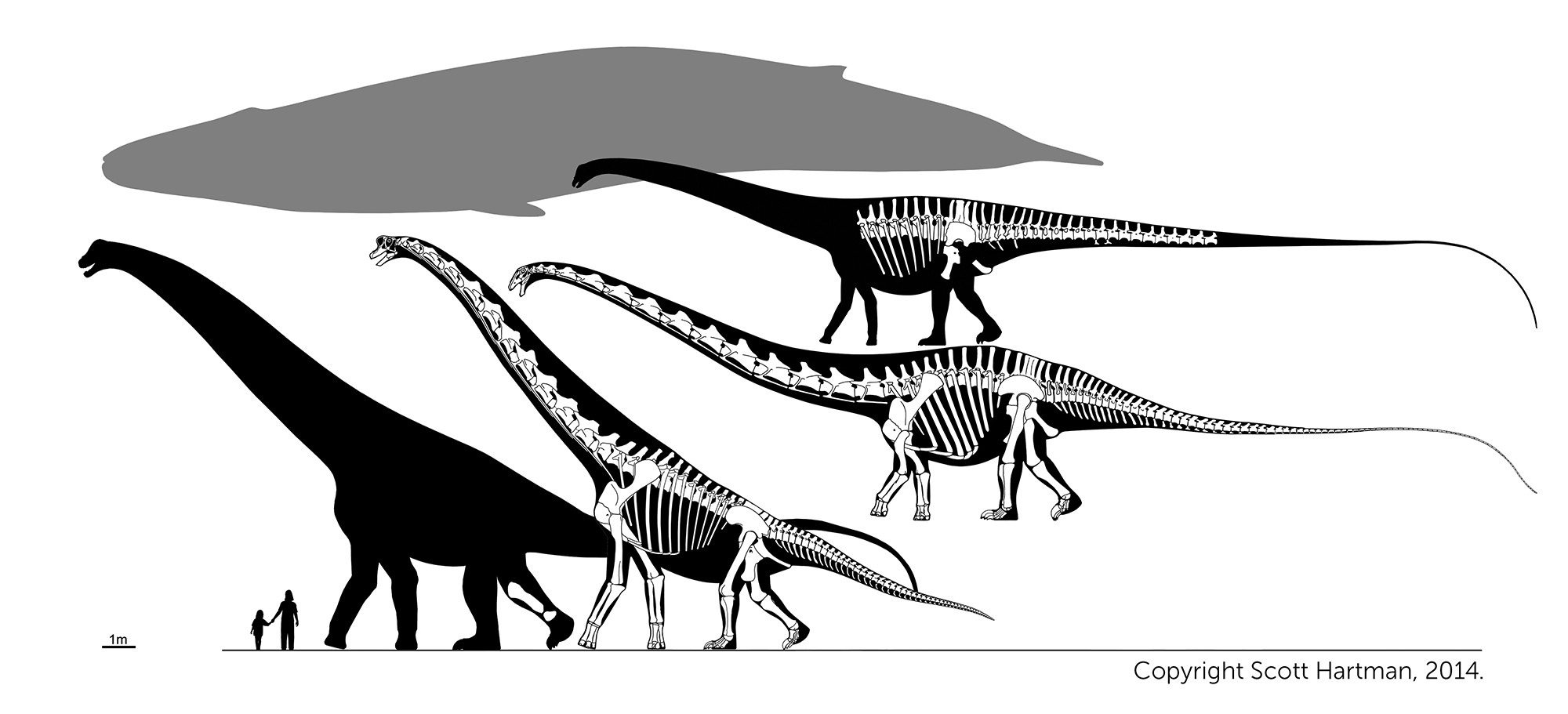 Dinos from left to right: Giant Alamosaurus  tibia,  Giraffatitan (HMN SII),  Supersaurus  (WDC) and  Diplodocus  (NMMNH).