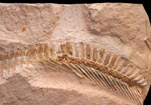 Prognathodon tail with hypocercal tail fin impression. Credit Johan Lindgren