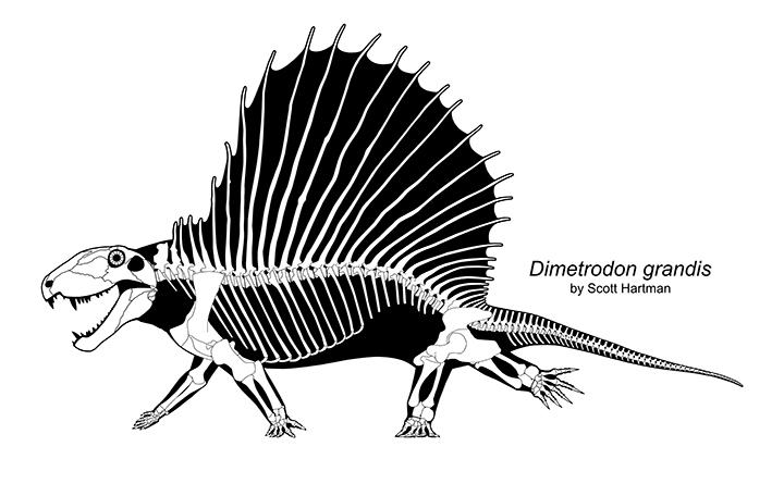 Dimetrodon skeletal
