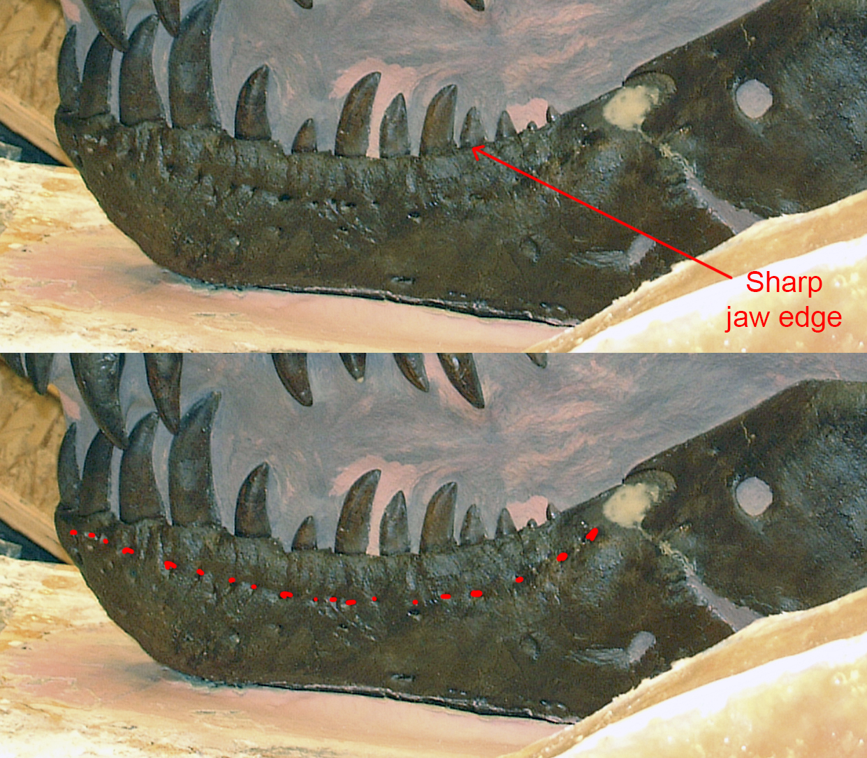 MOR 980 mandible - foramina highlighted in red on the bottom image