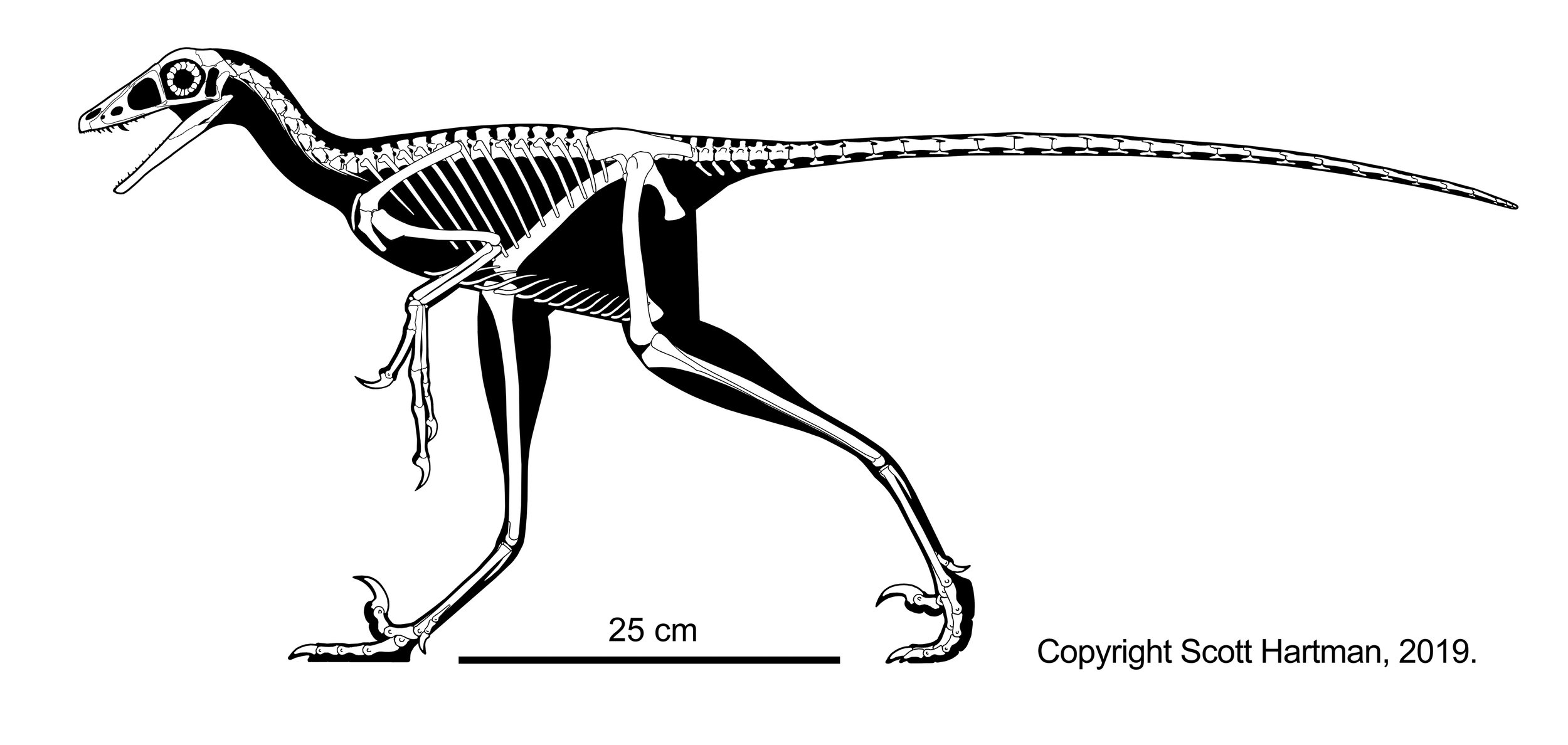 hesperornithoides skeletal.jpg