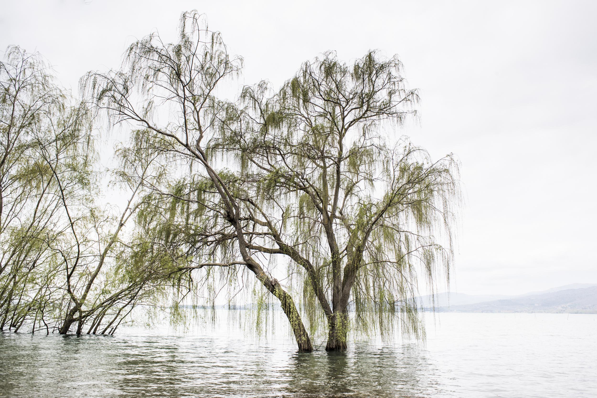 un salice sul Lago Trasimeno