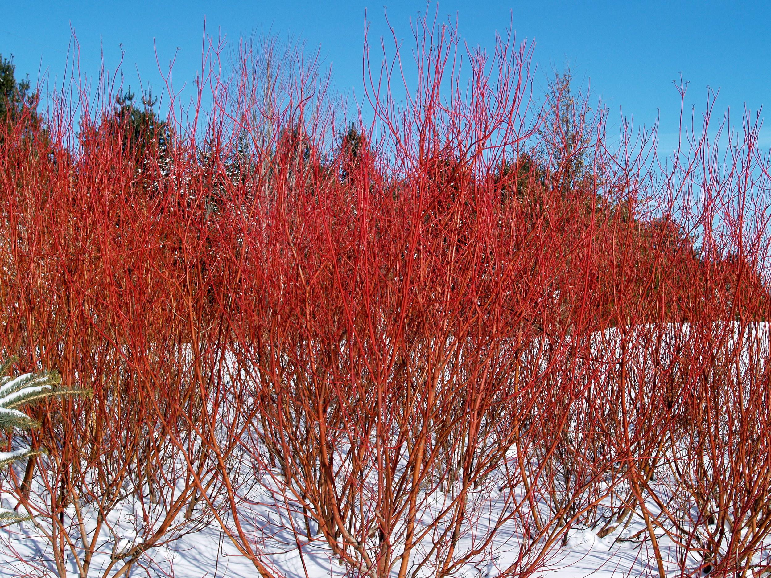 Cornus sericea (Red Twig Dogwood)