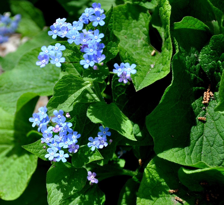 Brunnera macrophylla (Forget Me Not)