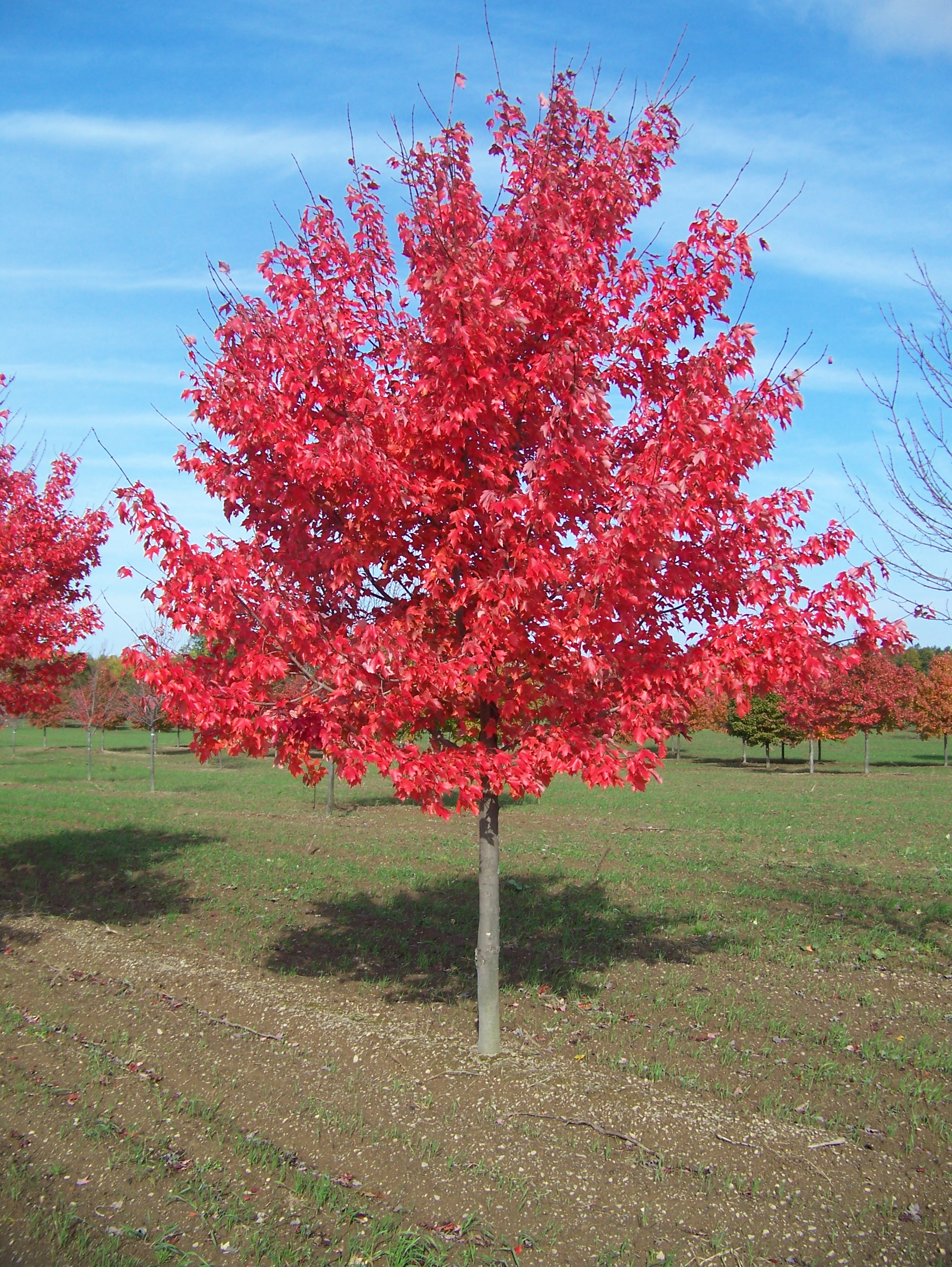 Acer ubrum (Swamp Maple)
