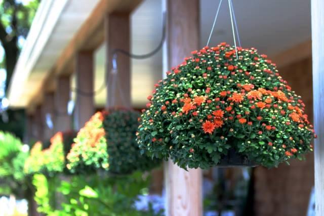 hangingmums.jpg