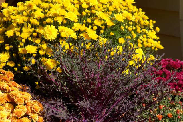 mums-and-ornamental-kale-big.jpg