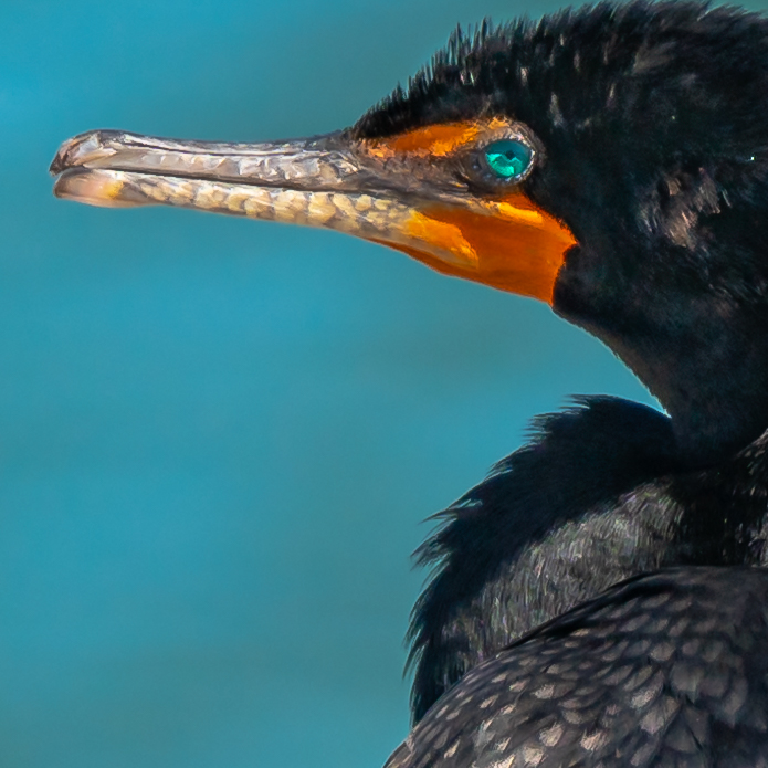 cormorant CU.jpg