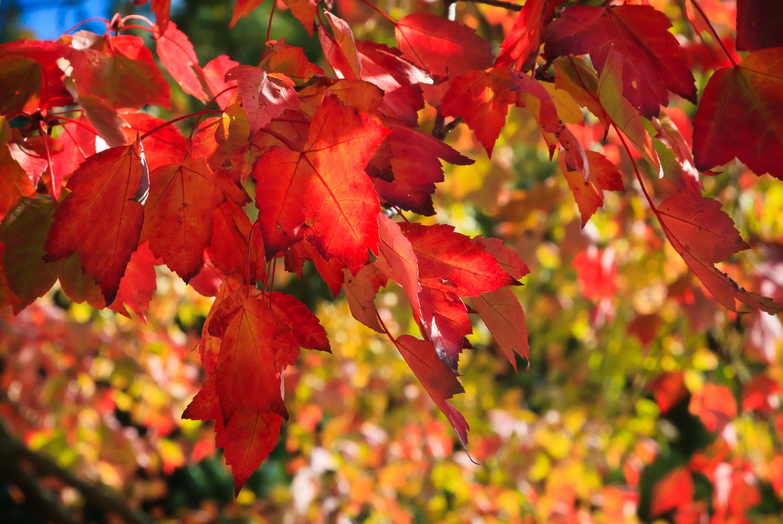 Crimson Leaves, Amherst, MA