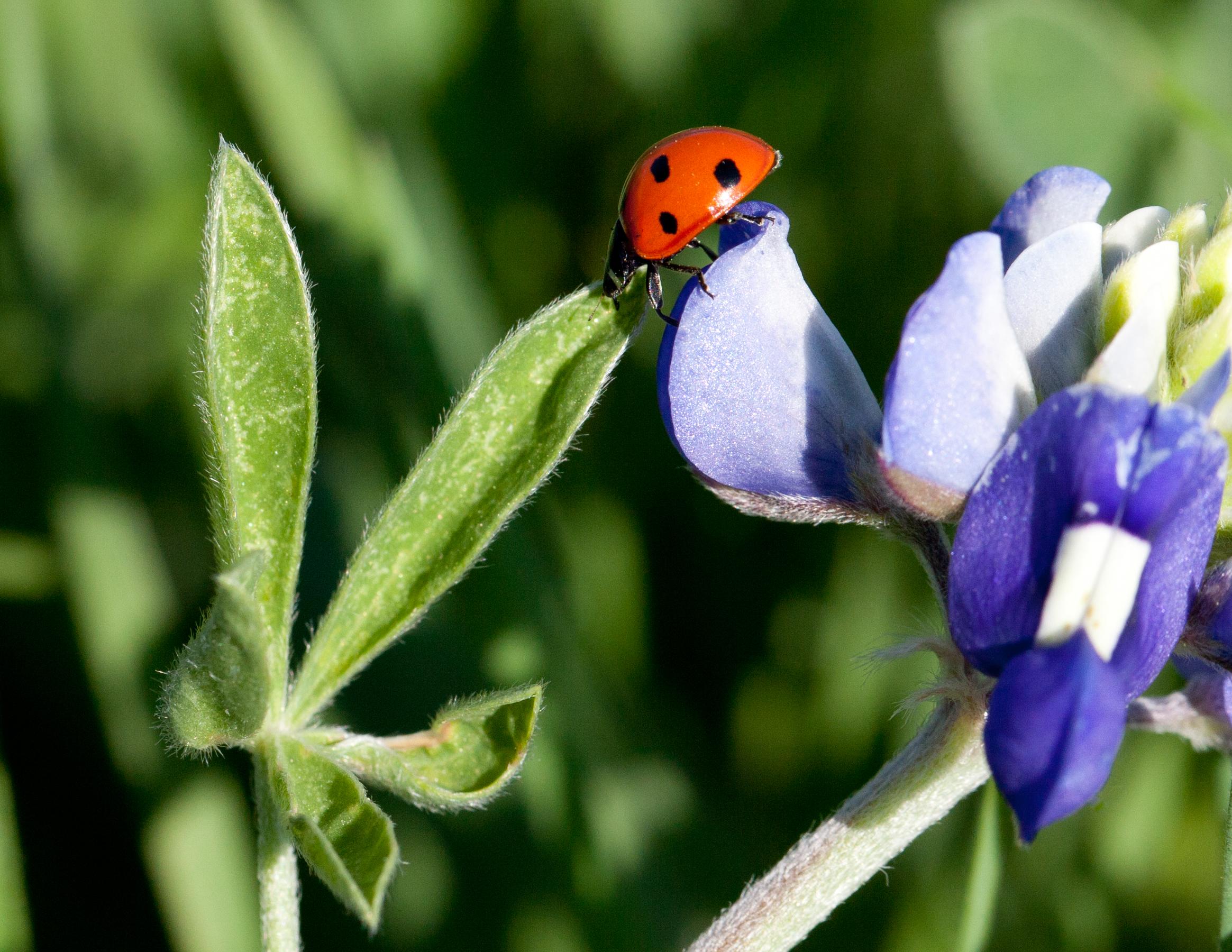 Lady Bug, Plano, TX