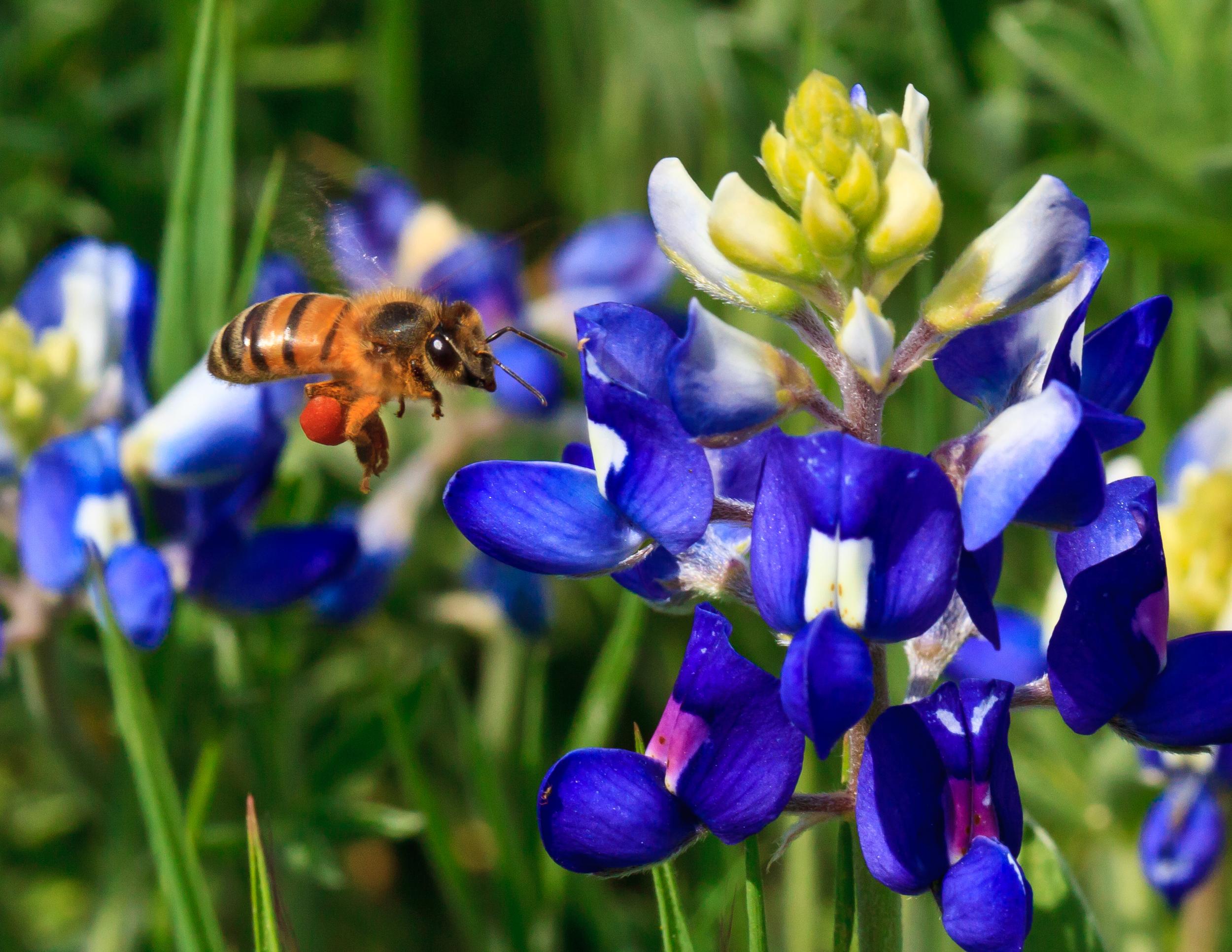 Bee Landing on Bluebonnet, Plano, TX