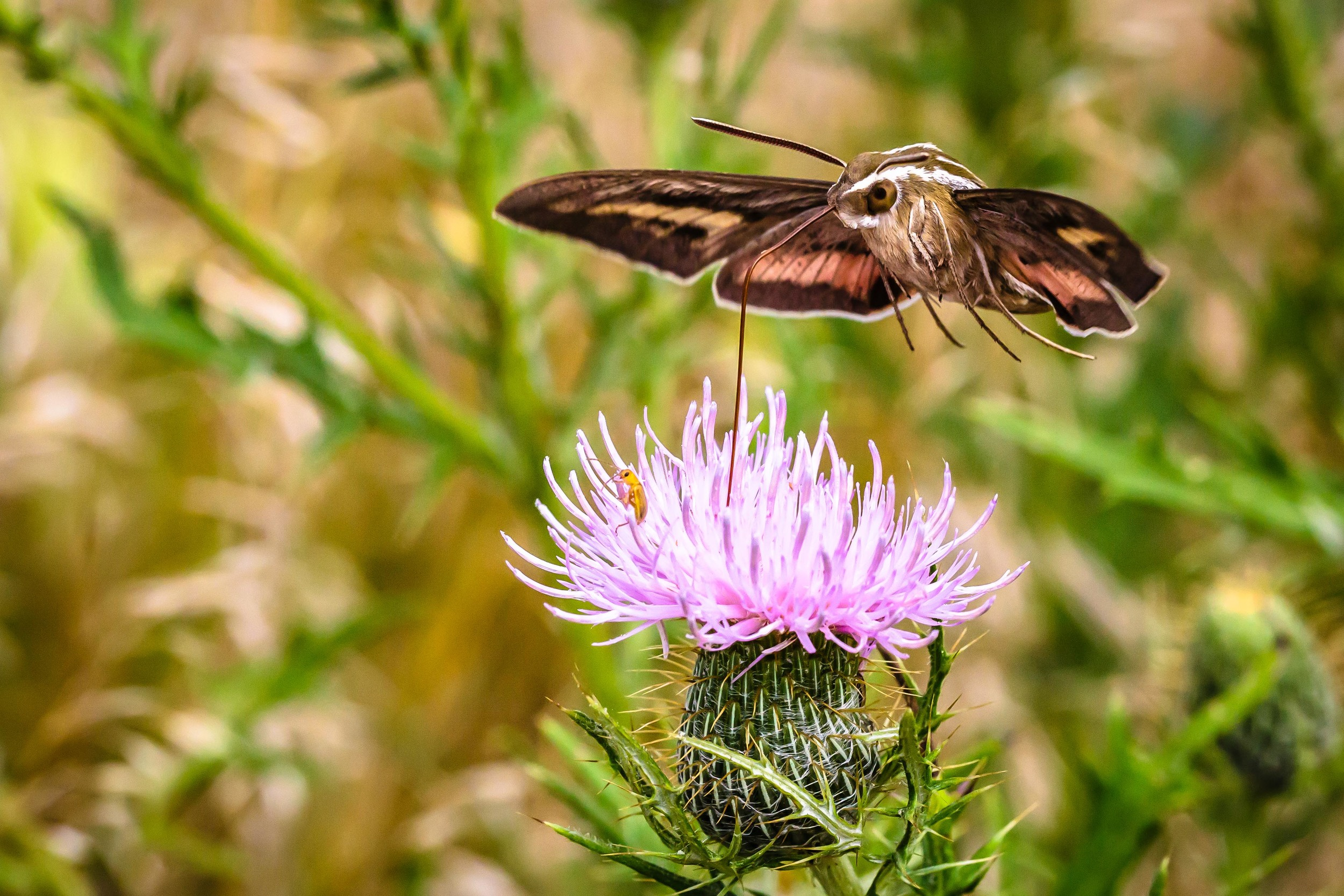 Hummingbird Moth 2, Ames, Iowa