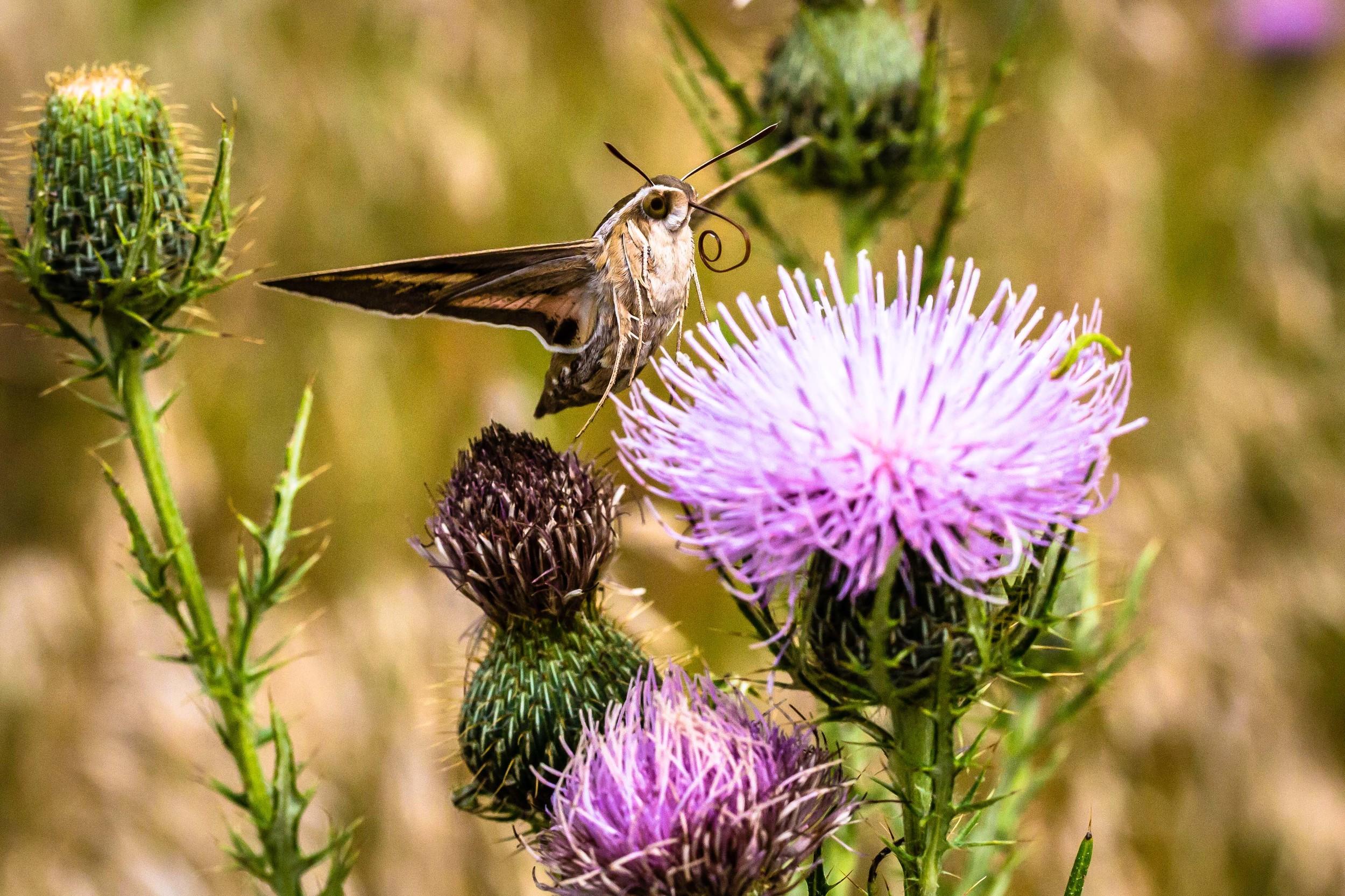 Hummingbird Moth 1, Ames, Iowa