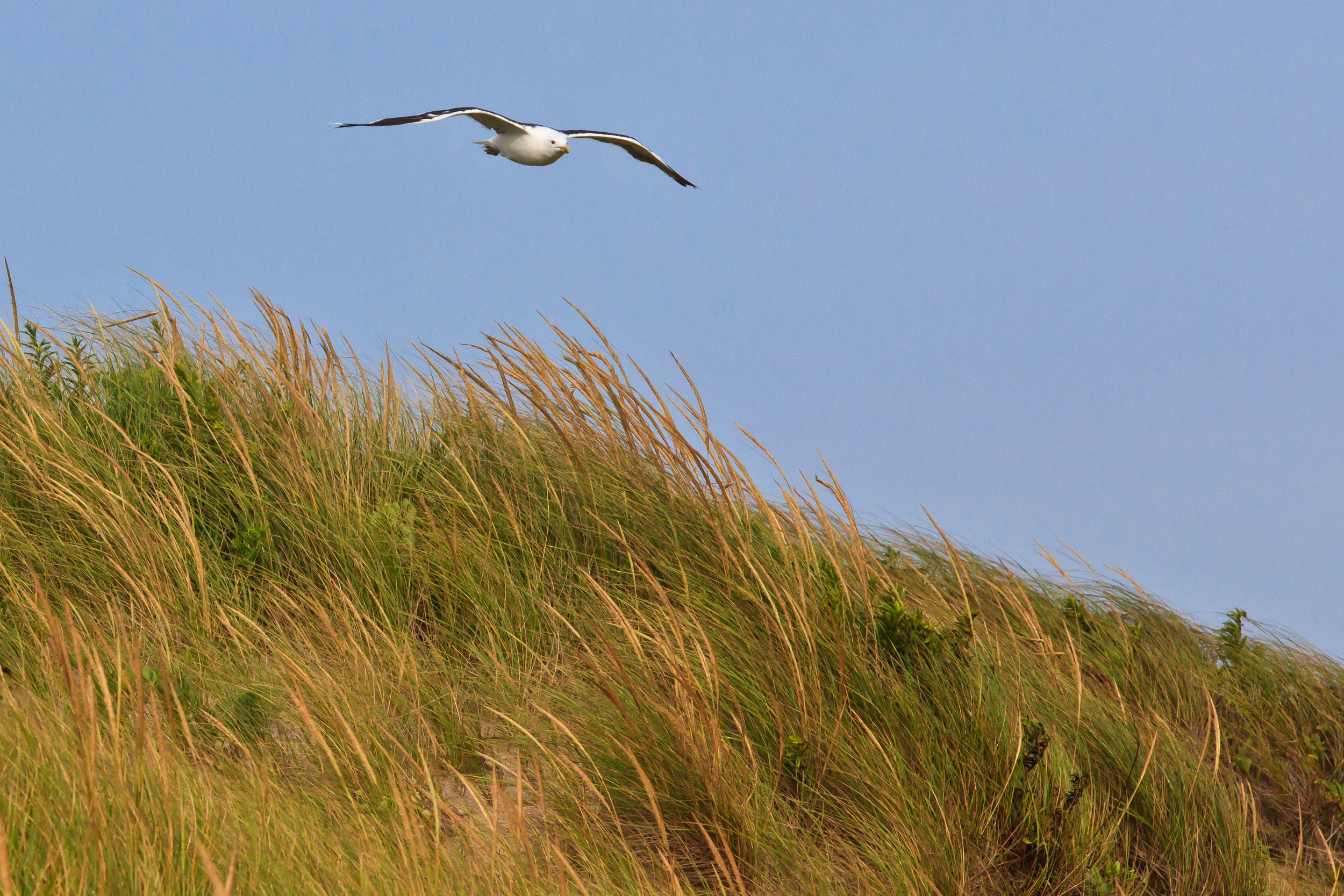 Soaring Gull, Katama Beach, Edgartown, MA