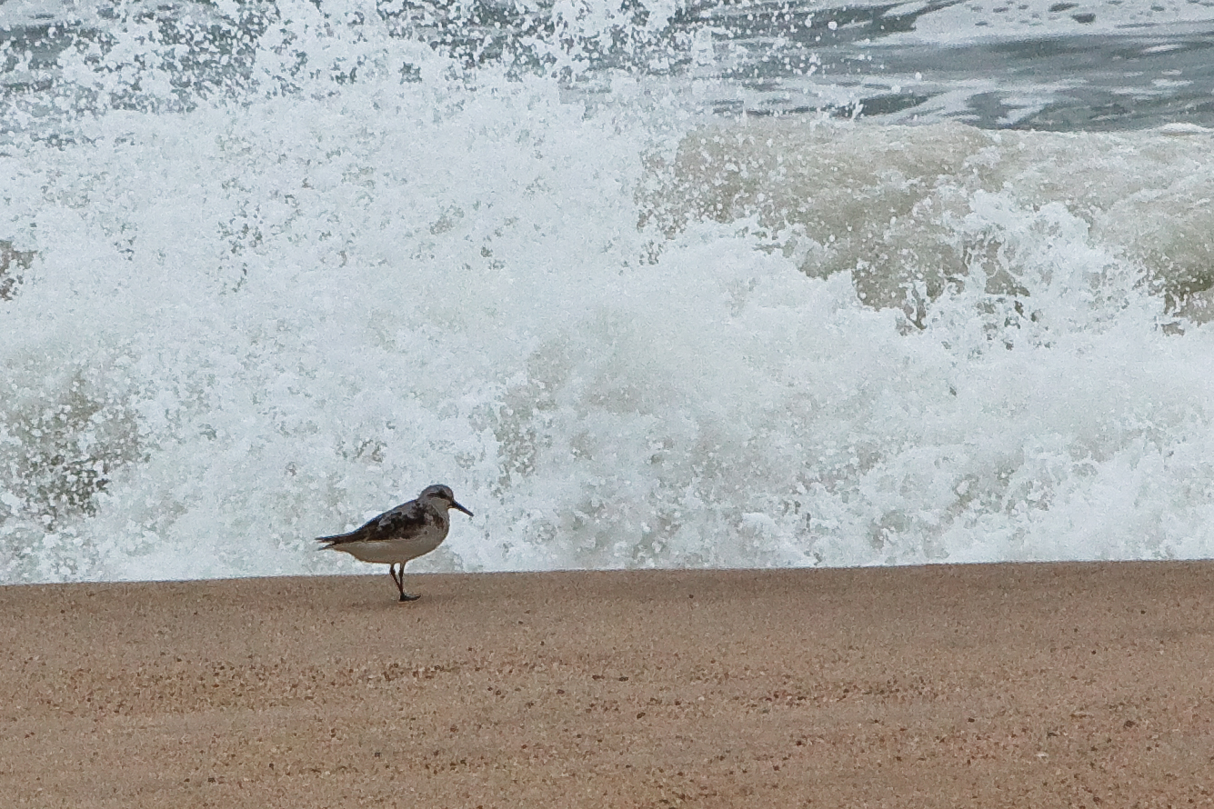 Sandpiper, Katama Beach, Edgartown, MA