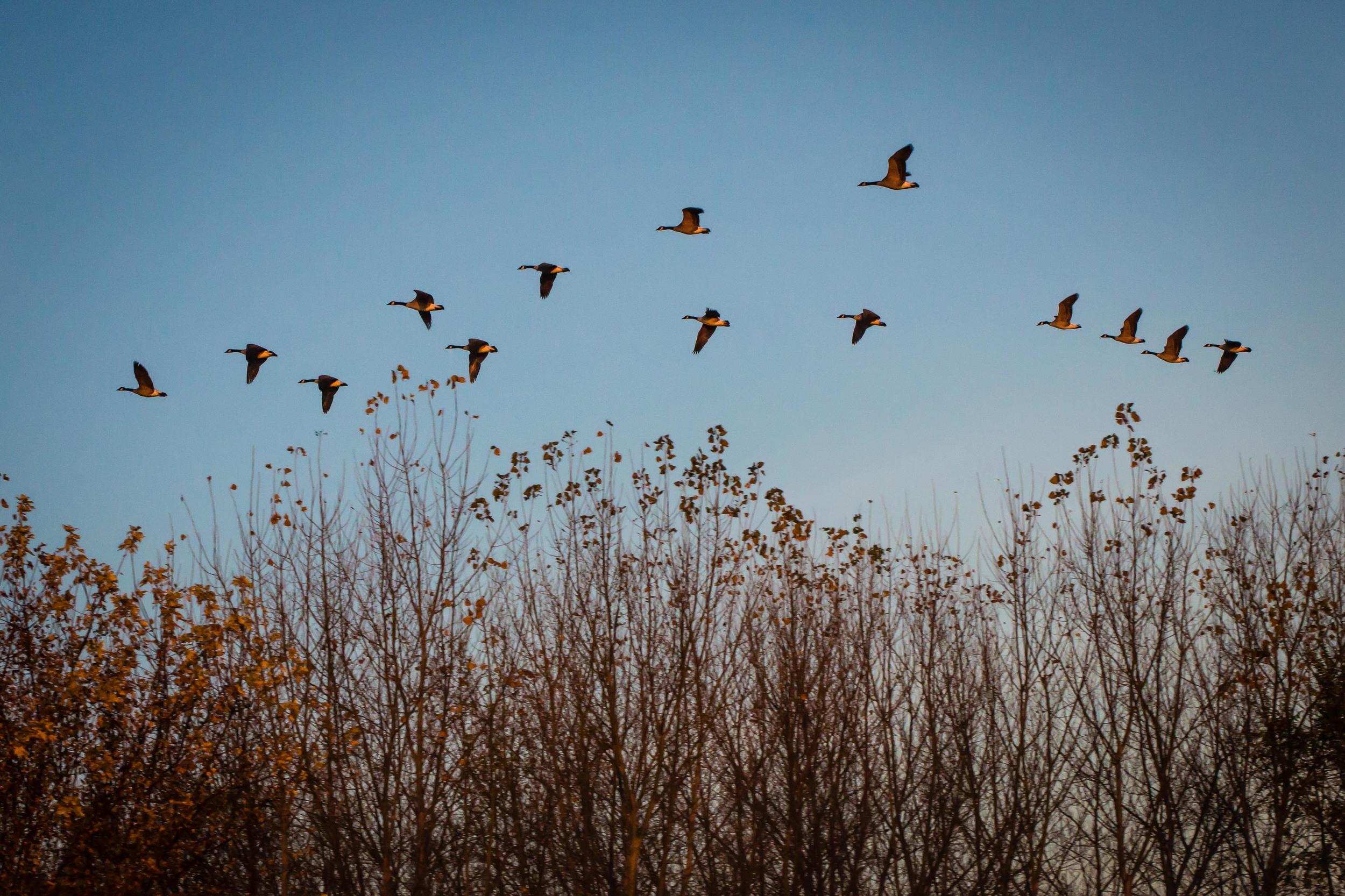 Canada Geese, Ada Hayden Park, Ames, Iowa