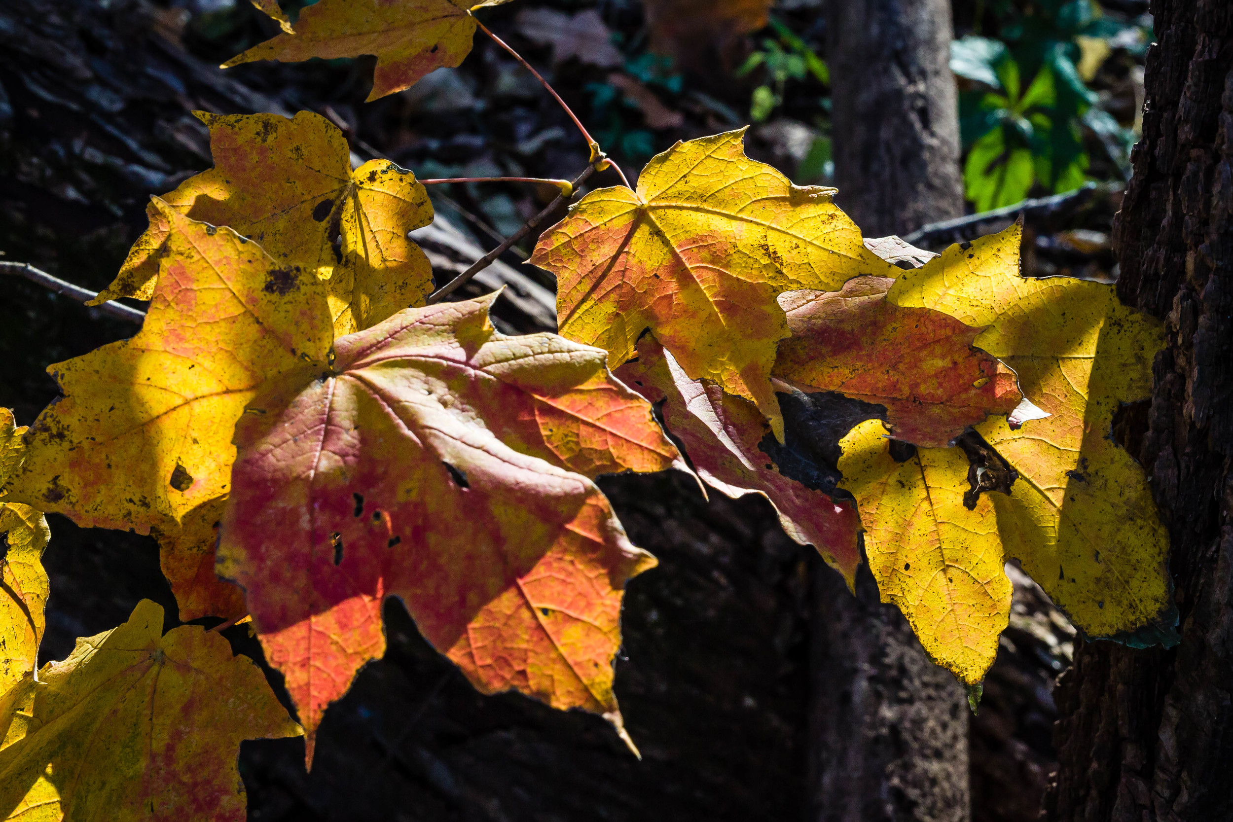 Fall Leaves, Skunk River Trail, Story County, Iowa