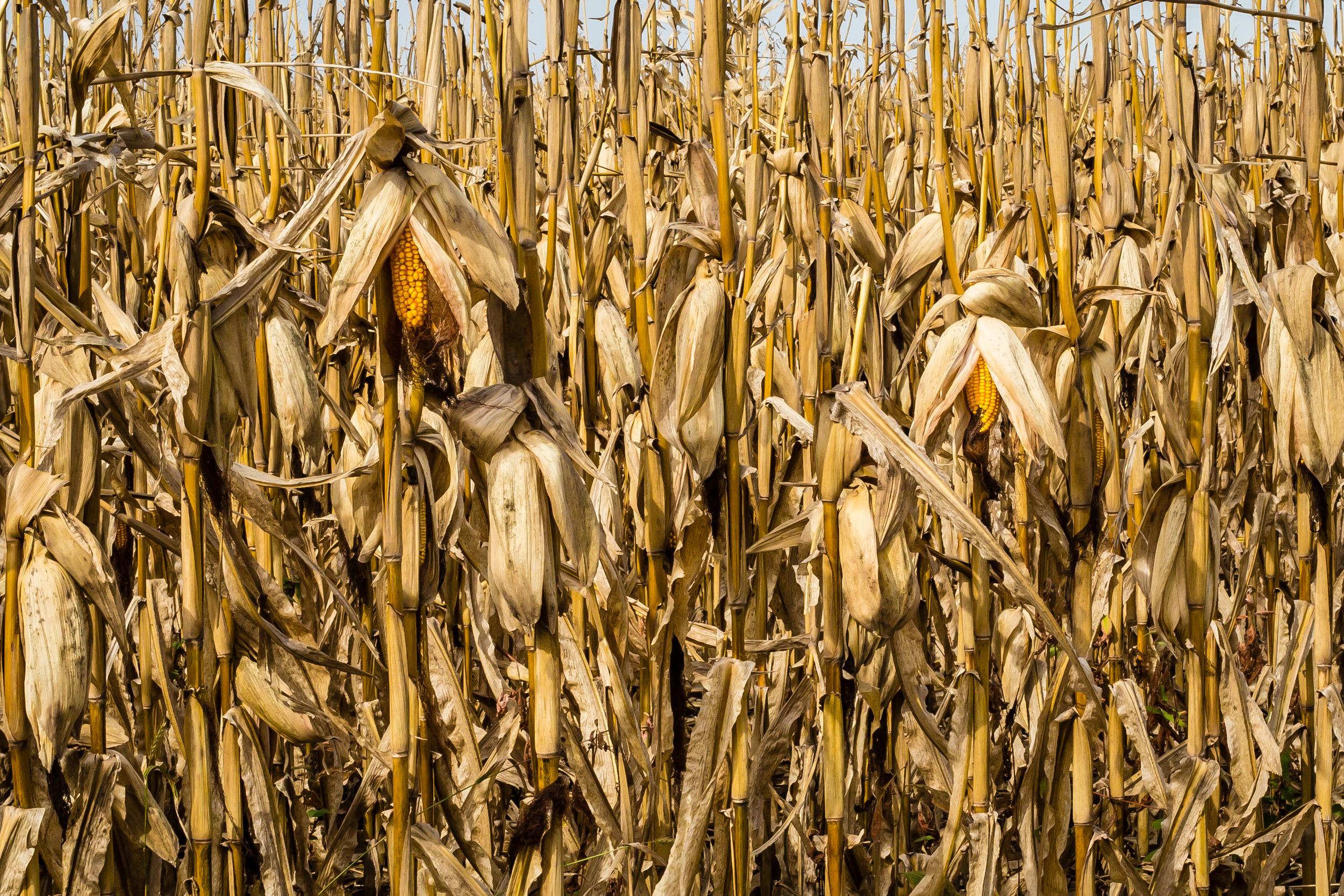 Field Corn, Story County, Iowa