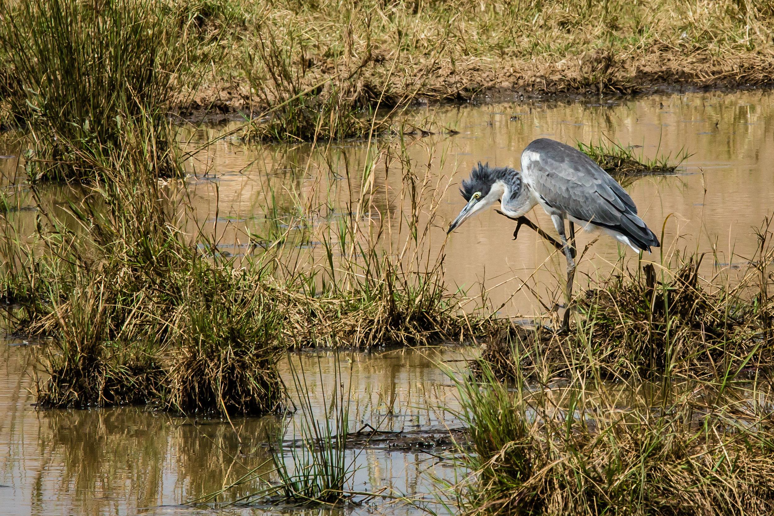 Blue Heron on the Masai Mara